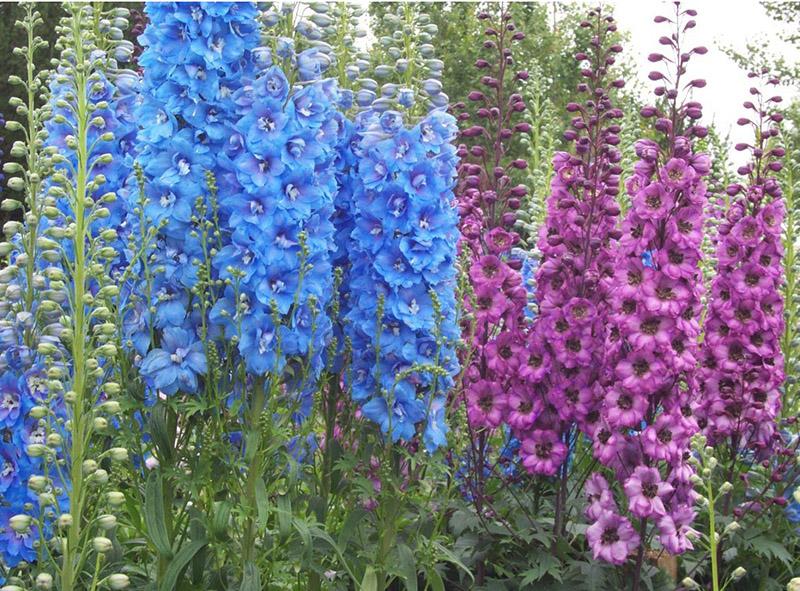 Hoa phi yến xanh là biểu tượng của sự ủng hộ