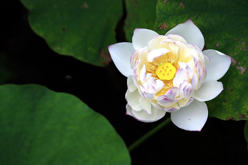 Ý nghĩa hoa sen trắng trong tình yêu